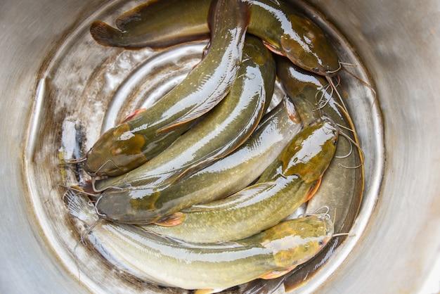 Frischwasserfischkanal-welsfilet für das fleisch, das lebensmittel auf asiaten kocht - frischer roher wels sheatfish flussfisch im markt