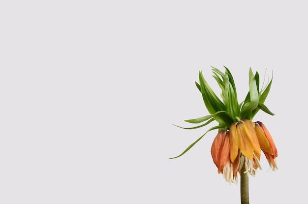 Fritillaria imperialis blume auf weißem hintergrund