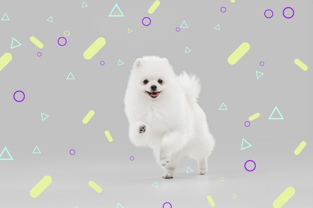 Fröhlich in bewegung. spitz kleiner hund. nettes verspieltes weißes hündchen oder haustier, das auf hellem, modern illustriertem hintergrund spielt. konzept der bewegung, aktion, bewegung, haustiere lieben. sieht glücklich, erfreut, lustig aus.
