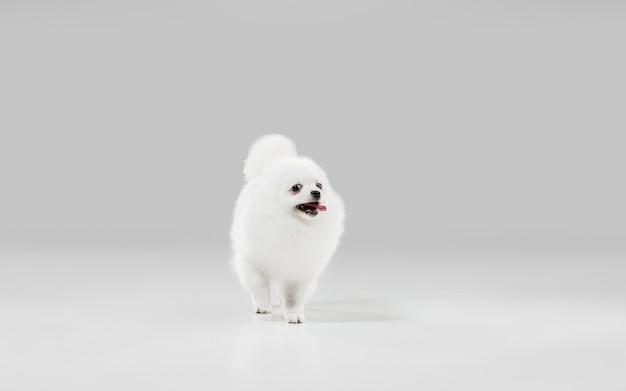 Fröhlich in bewegung. spitz kleiner hund posiert. nettes verspieltes weißes hündchen oder haustier, das auf grauem studiohintergrund spielt. konzept der bewegung, aktion, bewegung, haustiere lieben. sieht glücklich, erfreut, lustig aus.
