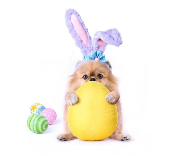 Fröhlicher ostertag nette welpen pommerscher mischling pekingese hund tragen sie hasenohren, die umarmen eier form kissen lokalisiert auf weißem hintergrund sitzen.