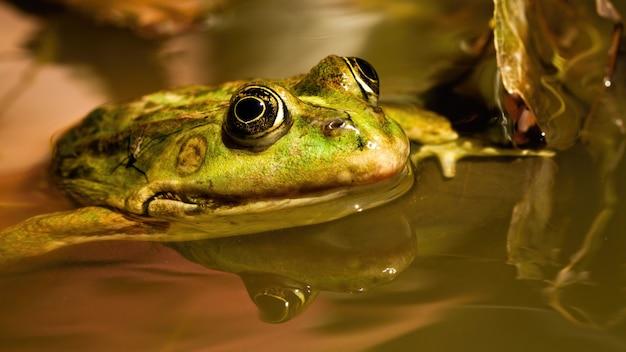Frosch, der aus dem wasser im teich herausragt