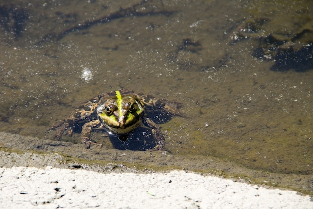 Frosch im sumpf