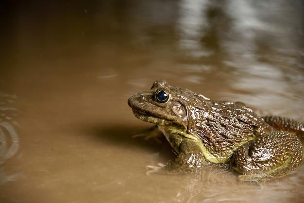 Frosch im wasser oder im teich, nah oben