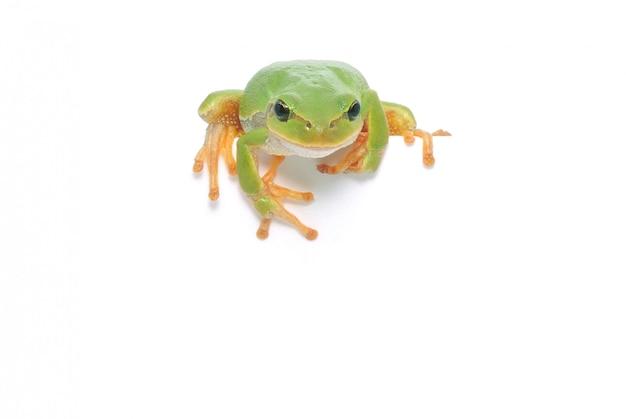 Frosch isoliert, der über randpräsentation schaut