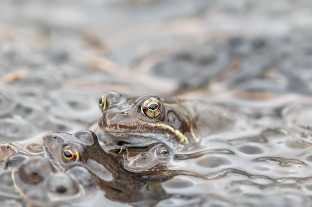 Frosch, kröte, bufo bufo, europäischer frosch in natürlicher umgebung