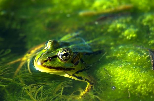 Frosch schwimmen