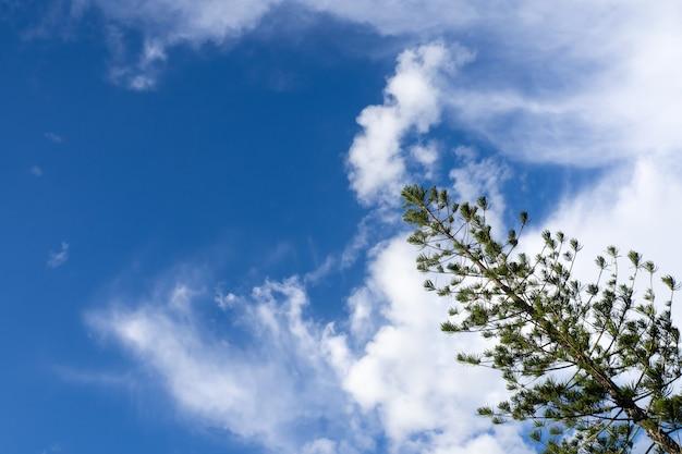 Froschperspektive der kiefer mit blauem himmel am sonnigen tag.