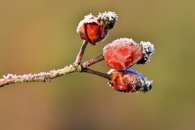 Frost auf zweigen schöne winter saisonale natürliche background.frost hagebutten sträucher