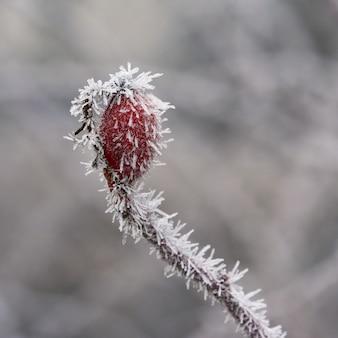 Frost hagebuttensträucher schöne winter saisonalen natürlichen hintergrund.