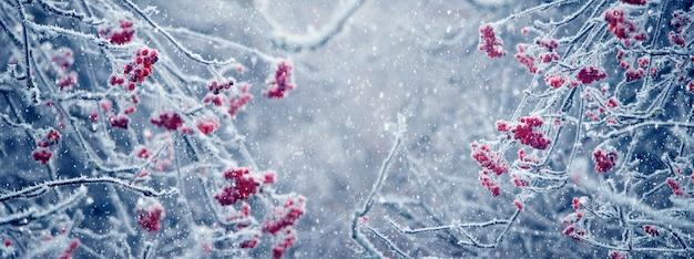 Frostbedeckte äste und rote beeren der eberesche bei schneefall. panorama. winter- und weihnachtshintergrund
