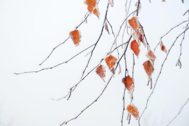 Frostbedeckte gelbe birkenblätter auf einem leicht verschwommenen hintergrund