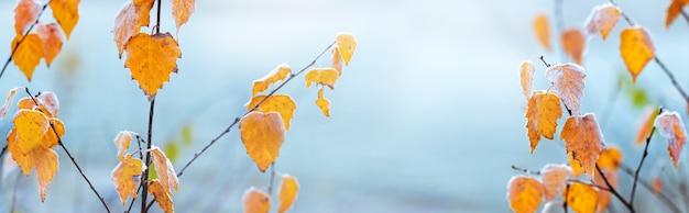 Frostbedeckte gelbe birkenblätter auf hellblauem himmel, panorama sky