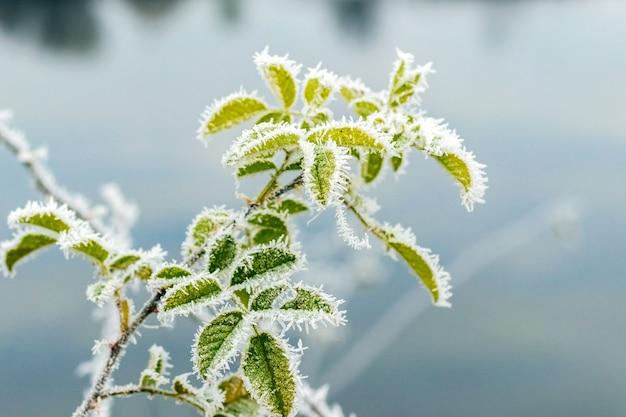Frostbedeckte grüne hagebuttenblätter auf einem unscharfen hintergrund nahe dem fluss