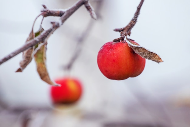 Frostbedeckte rote äpfel sind im frühwinter kein baum