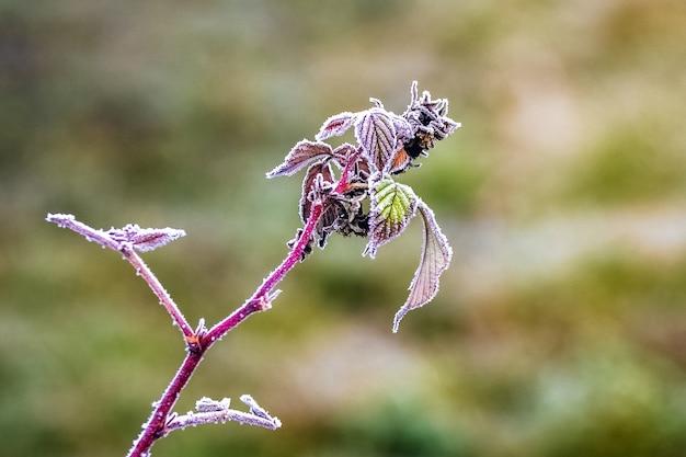 Frostbedeckter himbeerzweig mit trockenen blättern