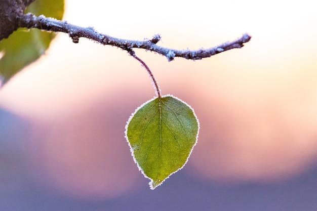 Frostbedecktes blatt auf einem baum auf einem hintergrund des bunten morgenhimmels