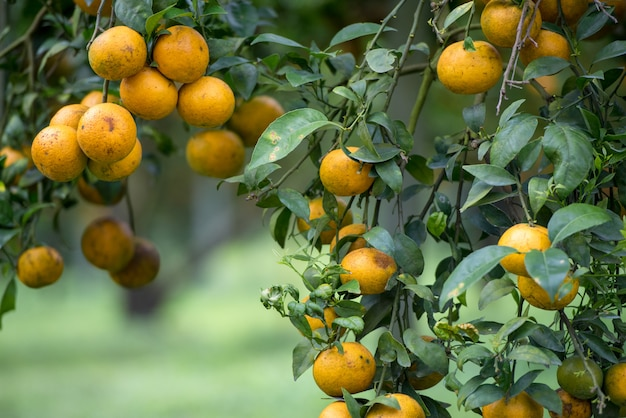 Frucht der gelben mandarine auf dem baum.