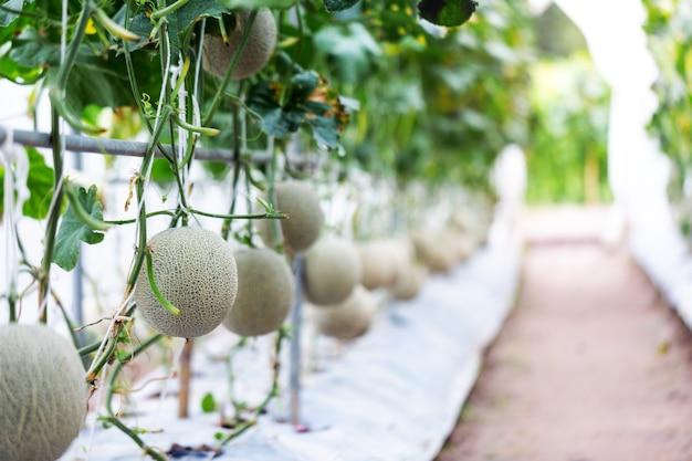 Frucht der japanischen melone im gewächshausbauernhof