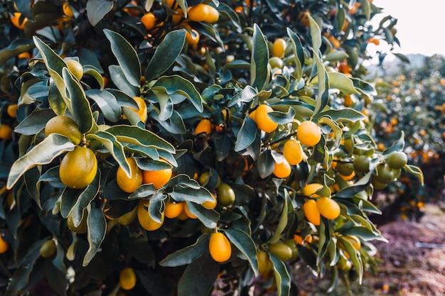 Früchte eines fortunella-orangenbaums, citrus sinensis, reiften in der sonne auf einer plantage in valencia.