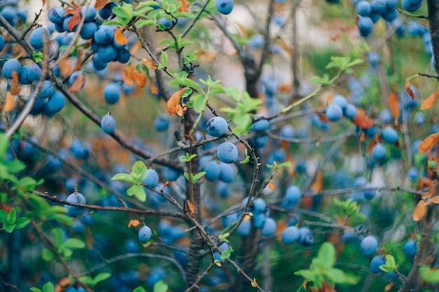 Früchte von blauen pflaumen auf den zweigen eines pflaumenbaums während der reifung.
