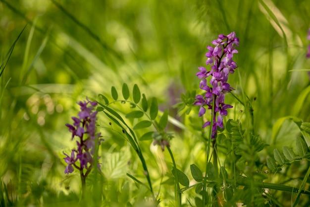 Frühe lila orchidee - orchis mascula im natürlichen lebensraum