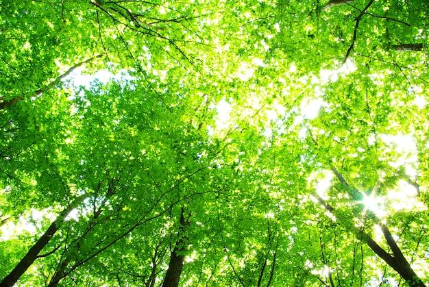 Frühe morgensonne im grünen wald