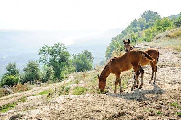 Früher morgen von zwei fohlen an der ländlichen landschaft