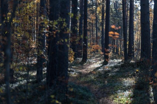 Früher sonniger herbstmorgen im kiefernwald