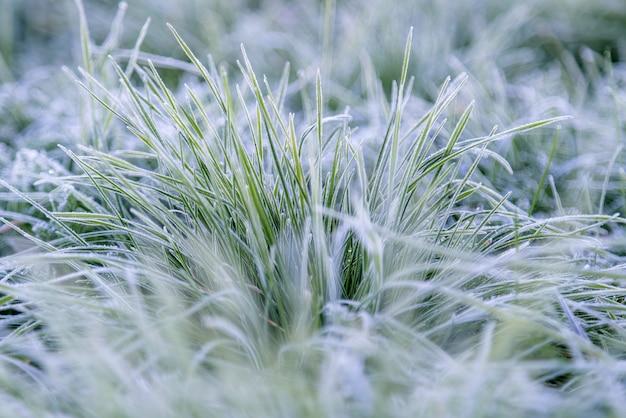 Frühes morgen gefrorenes raureifgras im herbst.