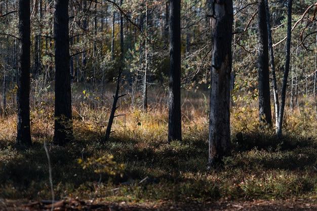 Frühherbstlicher kiefernwald unter der morgensonne