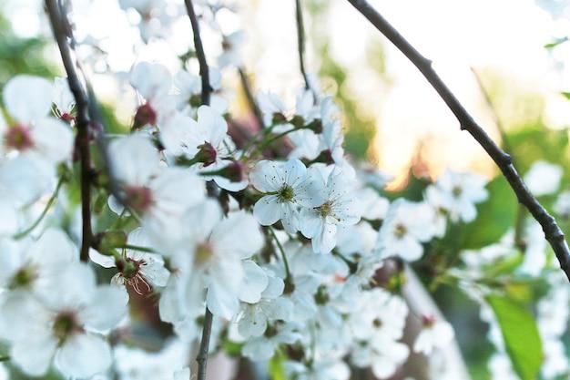Frühjahr der blühende apfelbaum mit strahlend weißen blüten