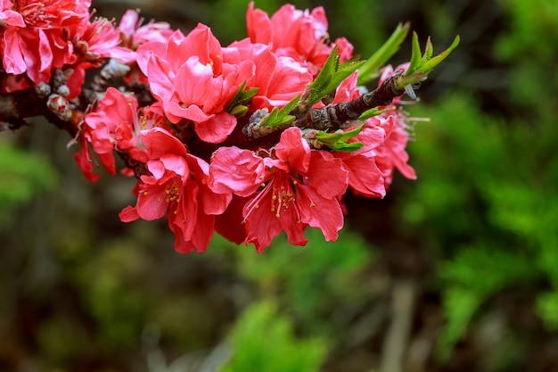 Frühjahrssaison. schön blühender baum frühling blüht