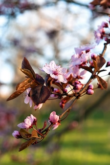 Frühling. baum, der mit rosa blumen blüht.