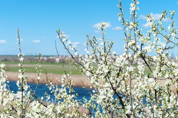 Frühling. baum, der mit weißen blumen blüht.