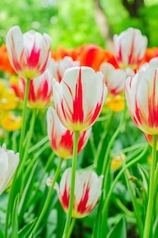 Frühling blühende blumen. feld der orange und weißen tulpen.
