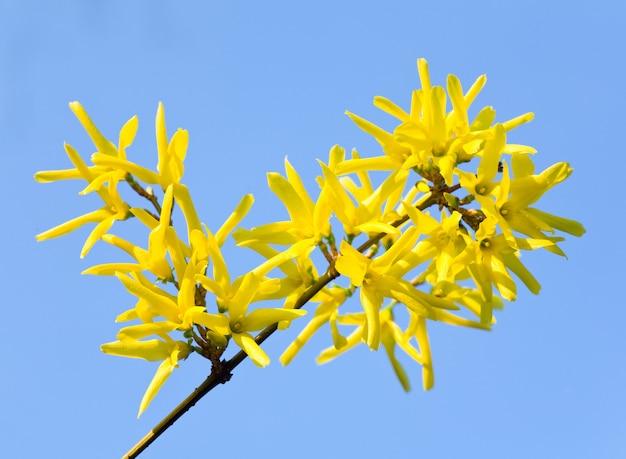 Frühling blühender zweig des gelben forsythienbuschs (auf blauem himmelshintergrund)