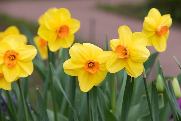 Frühling blüht gelbe narzissen. schöne gelbe blumen.