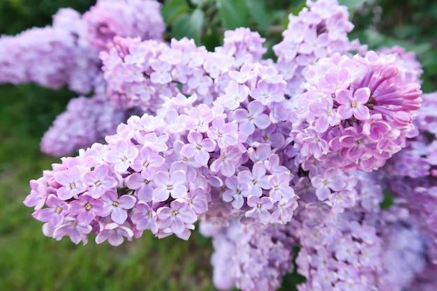 Frühling blüht lila. lila blumen mit vier und fünf blumenblättern
