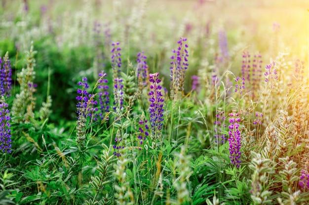 Frühling blüht lupinefeld an einem sonnigen tag