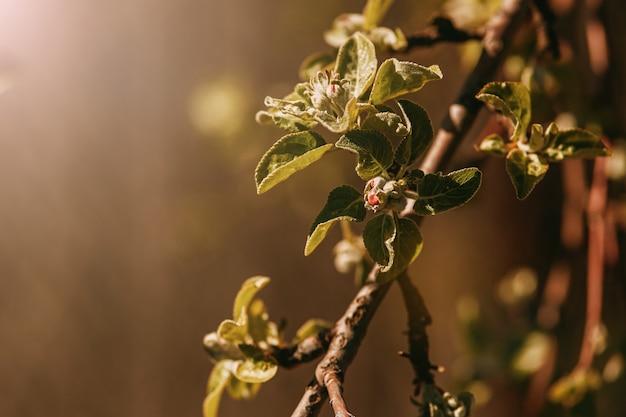 Frühling blüht nicht apple blüht in der sonne