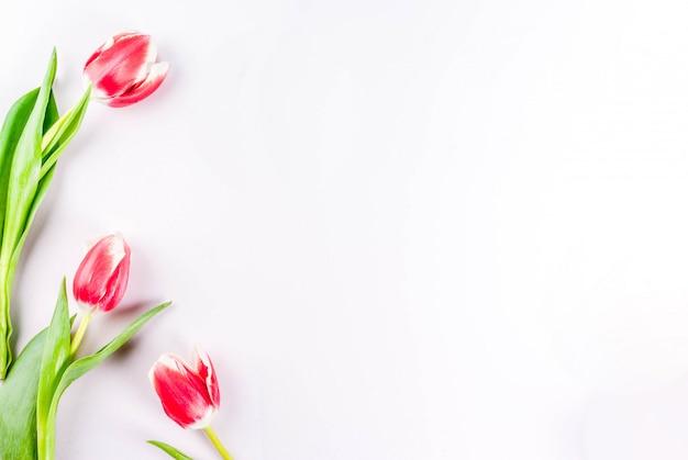 Frühling . blüht tulpen auf weiß. draufsicht, grußkarte