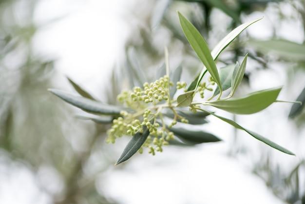 Frühling des olivenzweiges