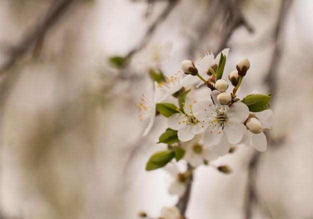Frühling ein apfelbaum blüht in einem garten