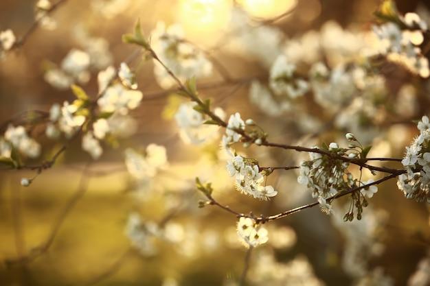 Frühling. frühlingskirschblüten, weiße blüten.