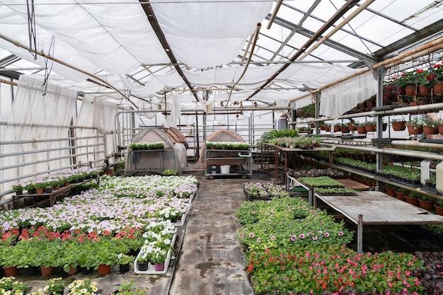 Frühling im gewächshaus saisonale petunienblumen blühen in kisten vor der transplantation im freien