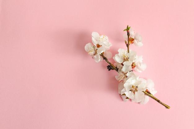 Frühling-konzept. eine niederlassung der aprikose auf einem rosa hintergrund.
