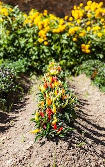 Frühling. peperoni-pflanze in einem gemüsegarten