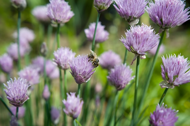 Frühling / sommer lila / rosa blume mit biene; bestäuben; ökologie