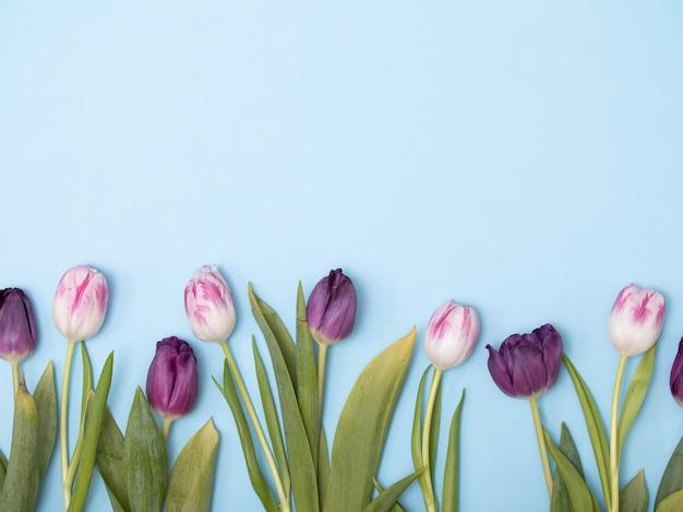 Frühling tulpen flatlay auf blauem hintergrund.